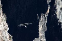 Cóndor en el Cañón del Colca - Arequipa