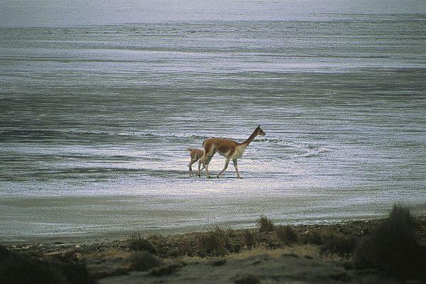 Vicuñas en Lagunas de Salinas - Arequipa