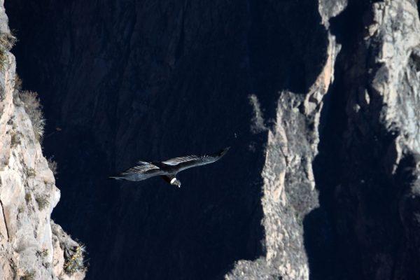 Cóndor sobrevolando en el Cañón del Colca - Arequipa