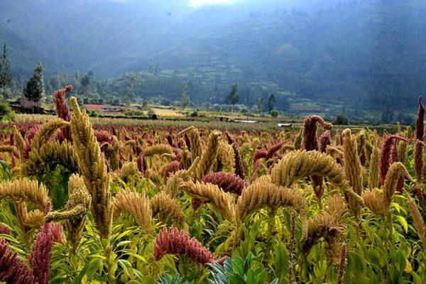 Plantaciones de kiwicha