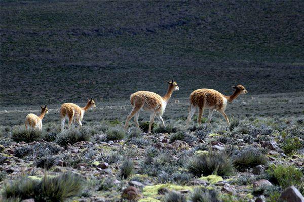 Vicuñas en Pampa Cañahuas - Arequipa