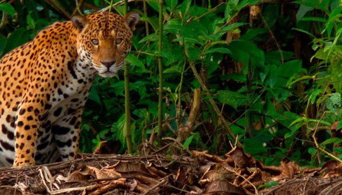 Jaguar - Reserva Nacional Tambopata