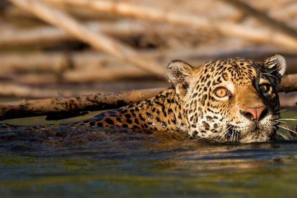 Jaguar, Tambopata - Madre de Dios